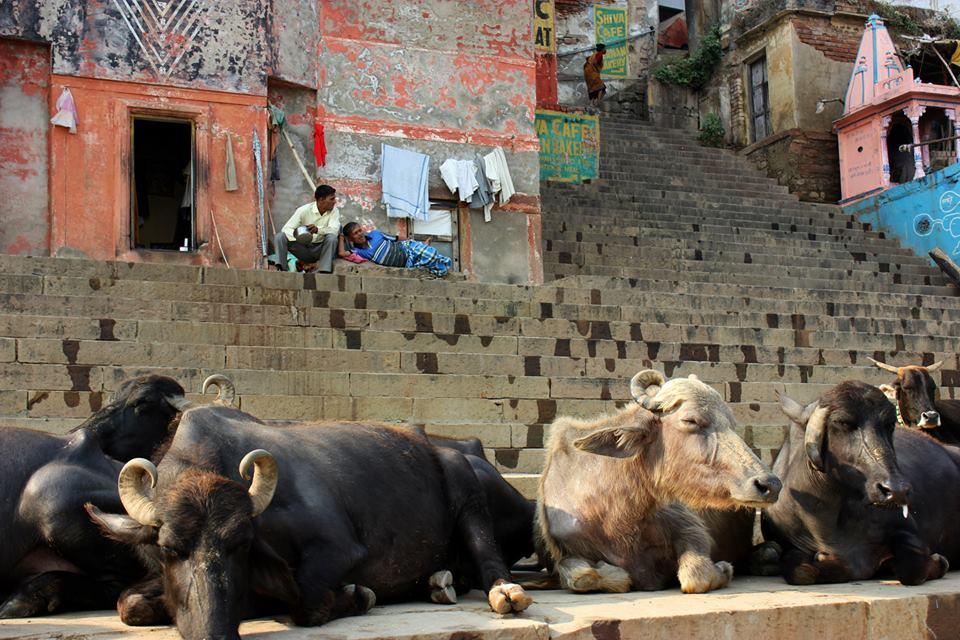 varanasi cows